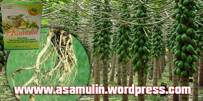 asamulin-manfaat-akar-pepaya (2)